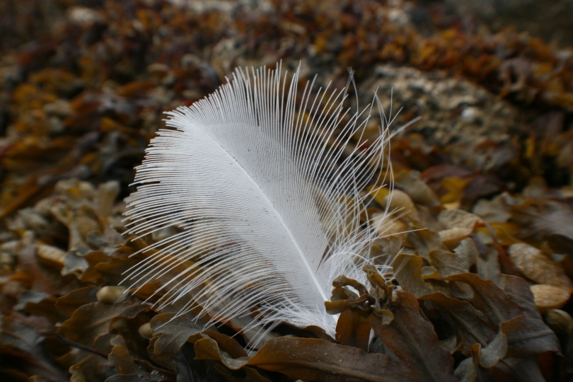 A white feather against seaweed on Benllech Beach, Anglesey.